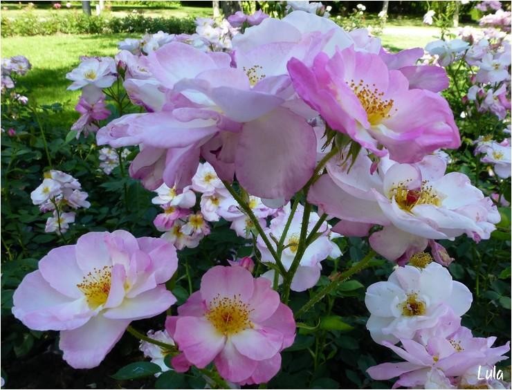La roseraie du Jardin Botanique de Montréal