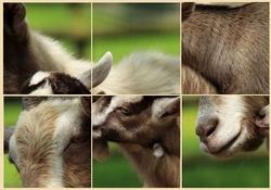 Puzzle - chèvre et chevreaux