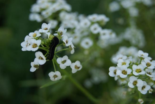 Vraie et fausse chenille : chenille de la noctuelle de la patience et larve de tenthrède de la rave.