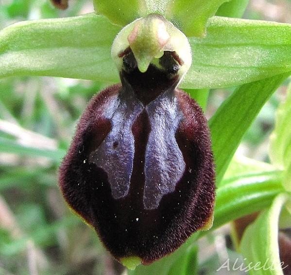 Ophrys-araignee-03-04-2010-d.jpg