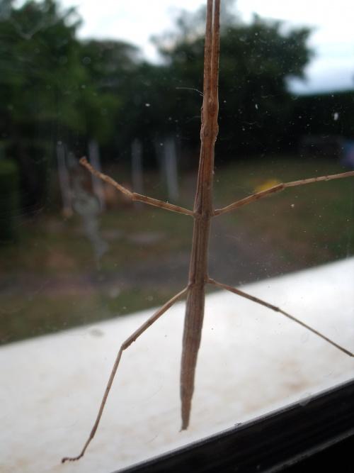 Phasme sur la fenêtre