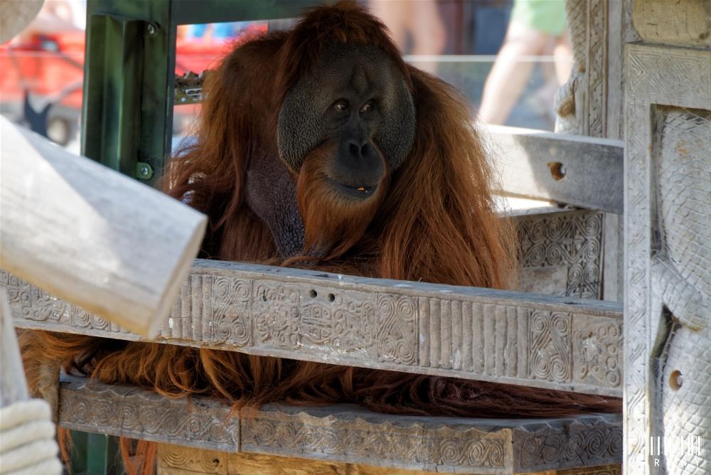 Voici Ujian (orang-outang mâle )