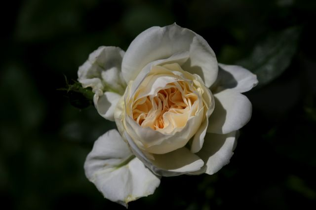 Les roses de Warren viennent à Chaalis !