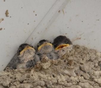 Jeunes Hirondelles de fenêtre au nid
