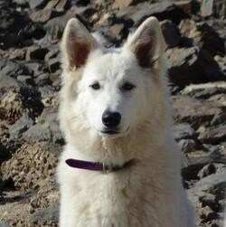 berger blanc suisse : un joli pédigrée