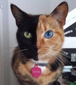 Vénus, la chatte aux deux visages