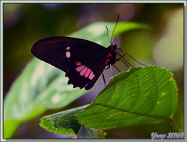 Blog de images-du-pays-des-ours : Images du Pays des Ours (et d'ailleurs ...), Papillon Parides Iphidamas - Isla Bastimentos - Bocas Del Toro - Panama