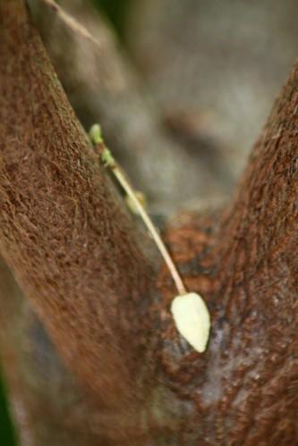 cacaoyer-et-autre-0653.JPG