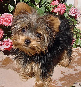 coco-the-yorkshire-terrier 45865 2010-05-30 w450