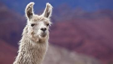 Le lama nous sauvera de la grippe ?
