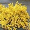 forsythia marée d'or
