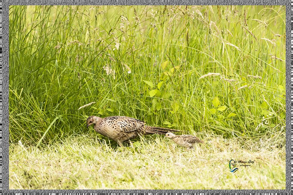 Poule faisane et son petit