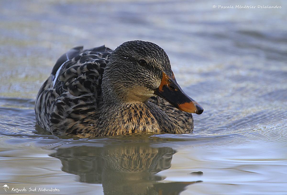 Canard colvert ♀