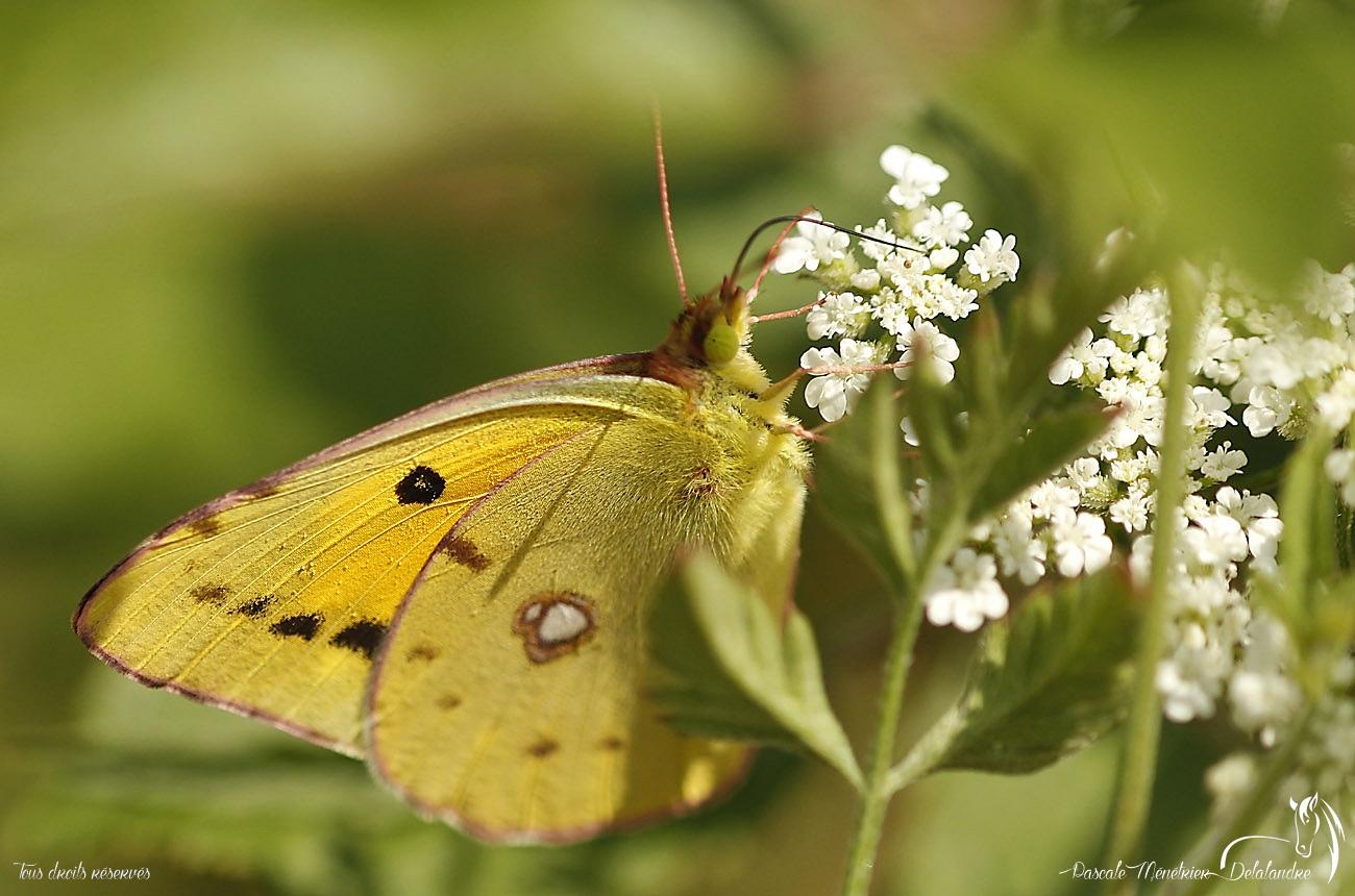 Colias - Pieridae