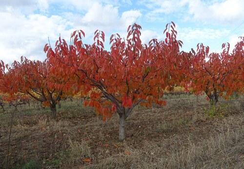 Rouges cerisiers