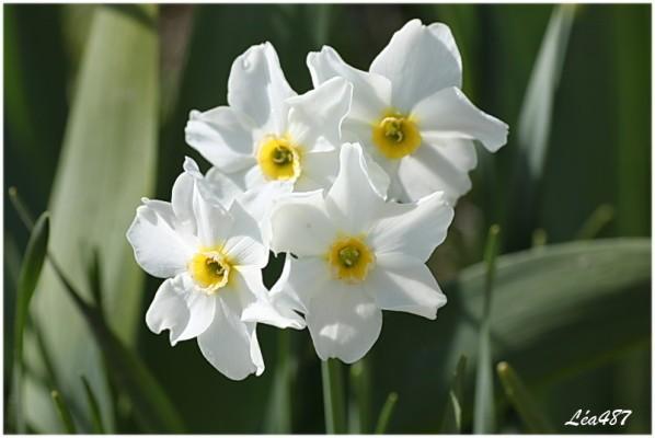 Fleurs-2-5685-narcisses.jpg