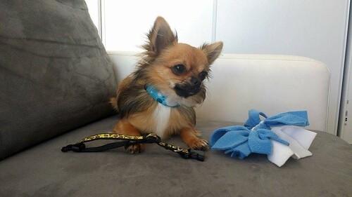 Les Envies de Pacôme Chihuahua