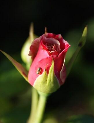 Rose panachée blanche et rose indien ' Concert '