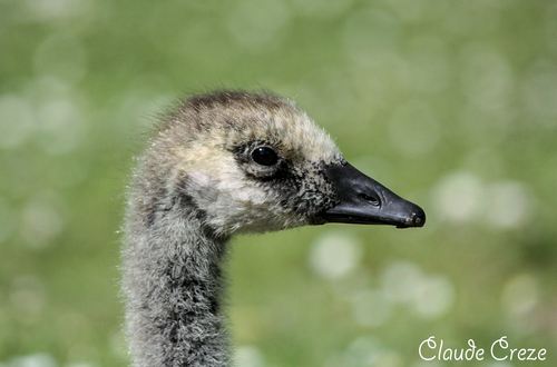 little Canada goose( photo Claude Creze)