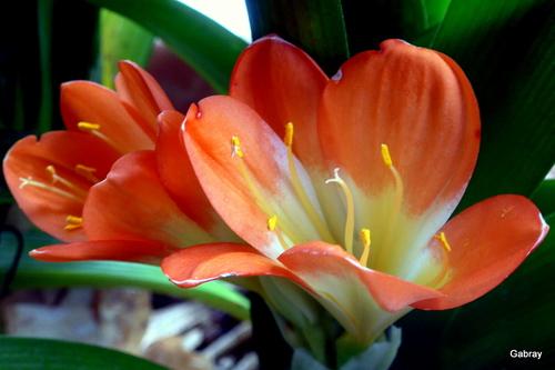 Mon clivia fleurit !
