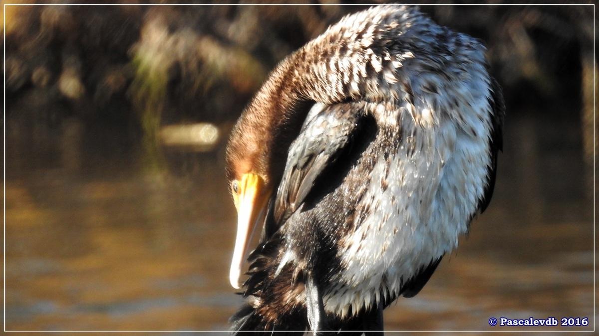 Réserve ornitho du Teich - Décembre 2016 - 7/13