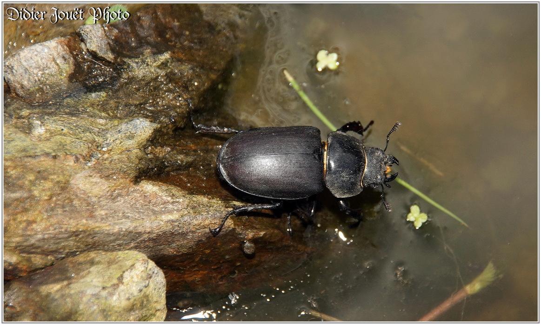 Petite Biche / Dorcus parallelipipedus