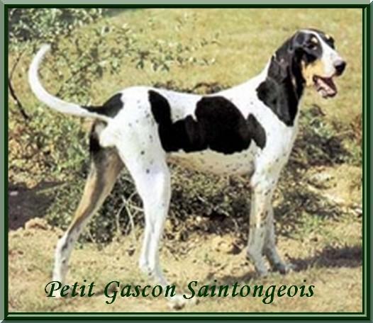 pequeno-gascon-saintongeois-01