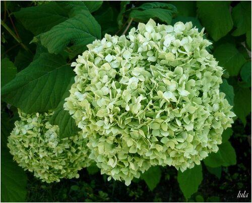 Hydrangeas (Hortensias)