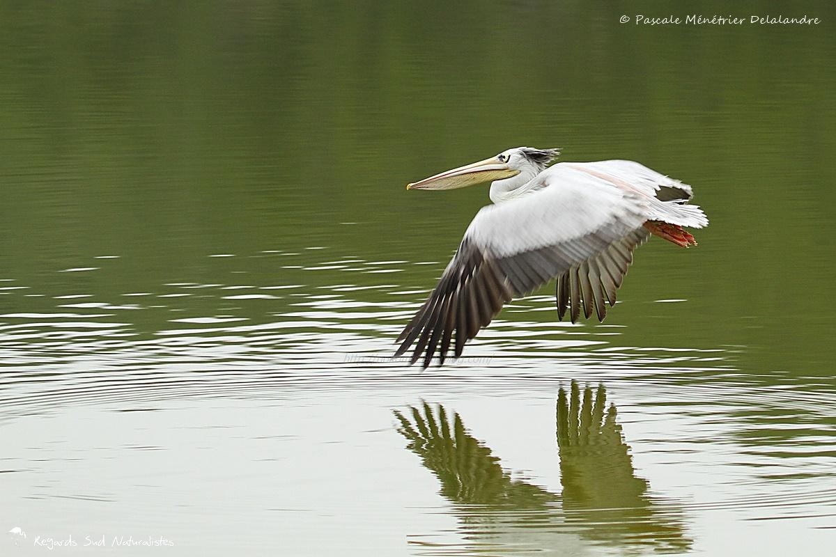 Pélican gris (ou Pélican à dos rosé)