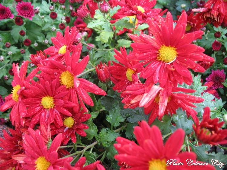 Fleurs d'automne : Chrysanthèmes