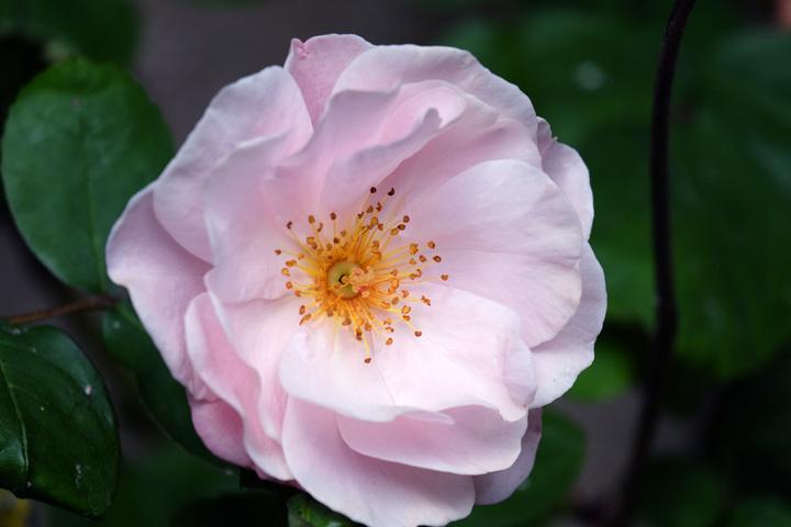 Au coeur de la rose !