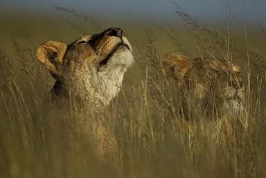 lionnes.jpg