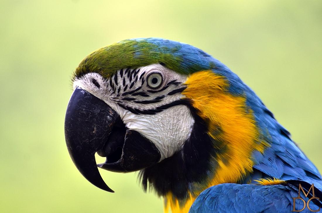 Ara bleu (Ara bleu jaune)