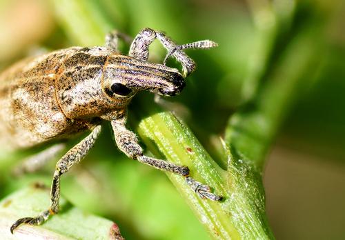Le Cyrano des insectes