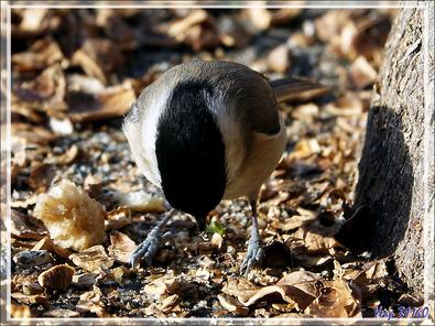 Mésange nonnette, Marsh tit (Poecile palustris) - Lartigau - Milhas - 31