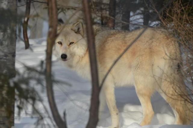 Un loup dans un enclos d'Aventuraid... (Photo Guillaume Roy, collaboration spéciale)