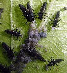 """Résultat de recherche d'images pour """"photo larves de  coccinelles"""""""