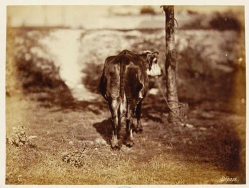 Des vaches - suite