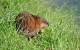 Rat musqué - p79