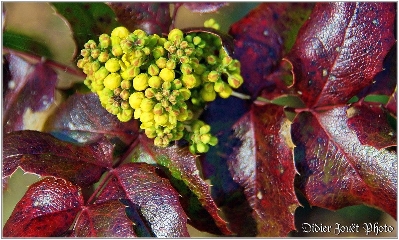 Mahonia à feuilles de Houx / Mahonia aquifolium