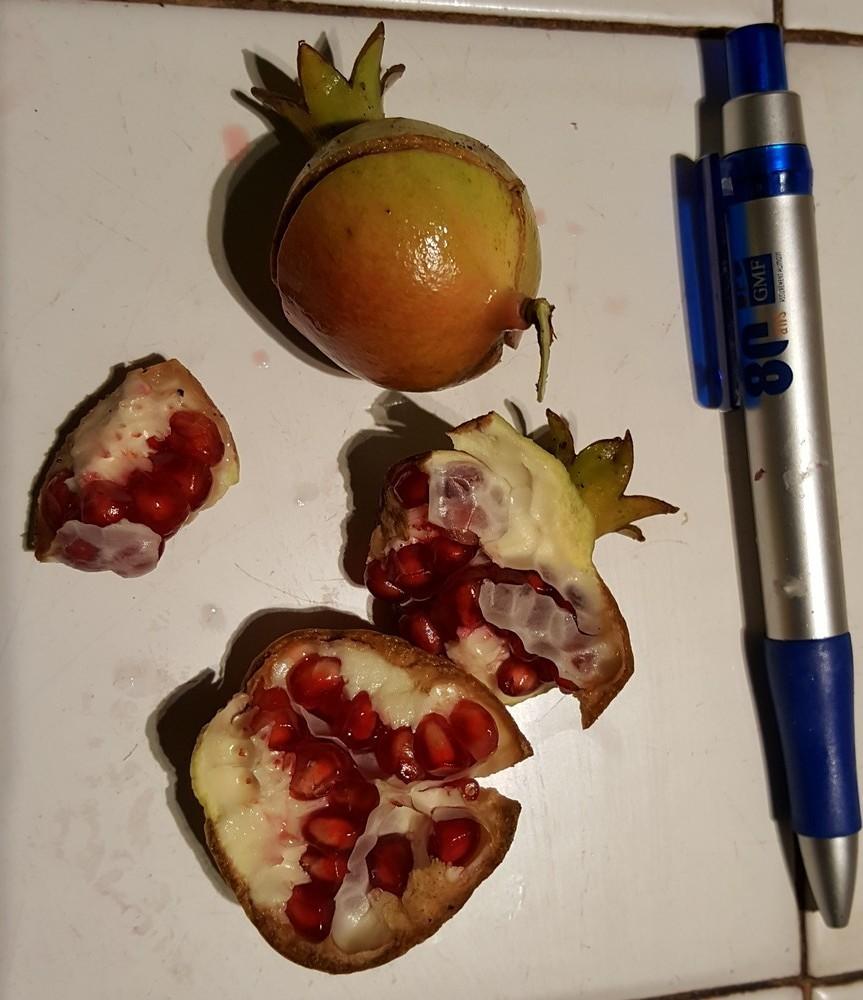 Les mini grenades de mon bonsaï...