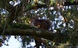 Écureuil roux - 253