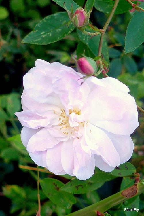 Jolies roses de novembre !