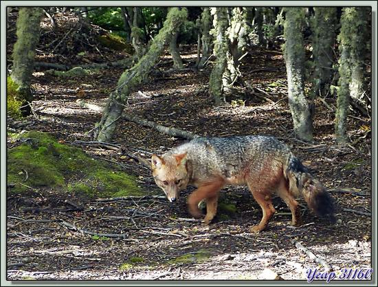 Renard de Magellan ou Loup de Magellan ou Renard des Andes (Lycalopex culpaeus) - Terre de Feu - Argentine