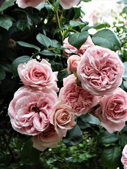 Le temps des roses : lesarches et l'allée(2ème partie)