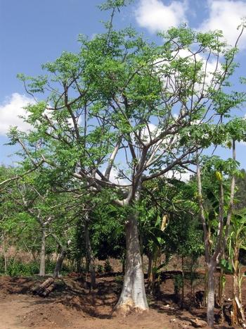 Ethiopia_-_Mature_Moringa_stenopetala_tree_-_March_2011