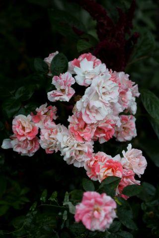 Roseraie - Septembre (4/4)