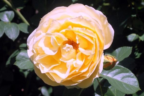 B2 - Rose double jaune