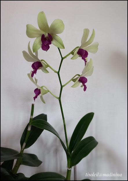Nouvelle orchidée