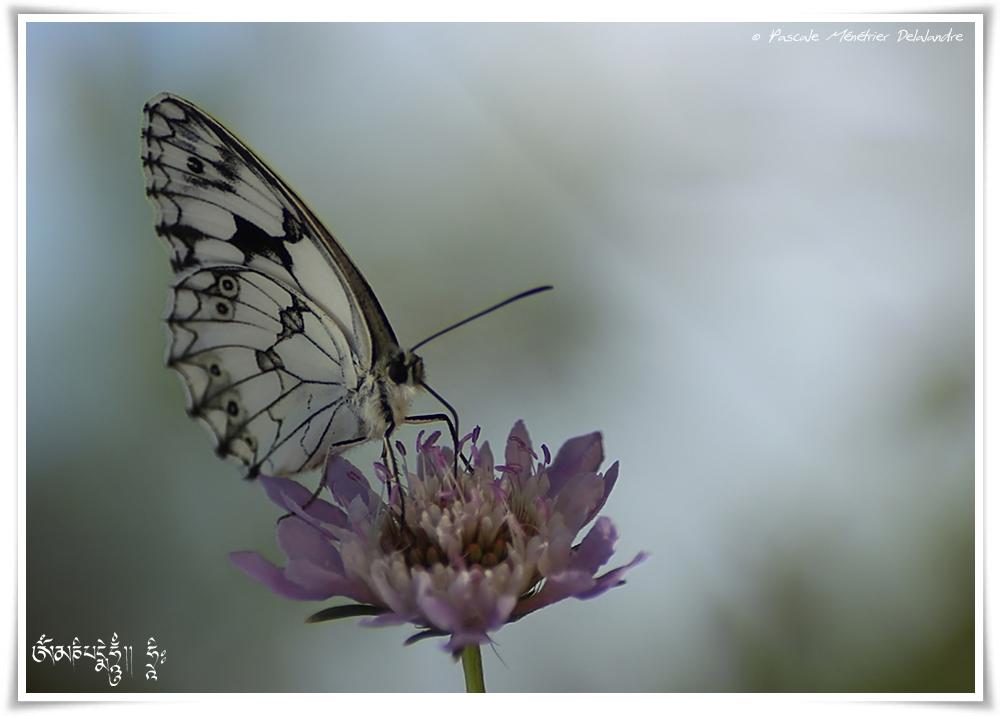Demi deuil - Melanargia galathea - Nymphalidae